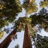 Giant Sequoia Tree to Plant