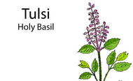 What is Tulsi Holy Basil And Benefits? And How To Steep Tulsi Tea?