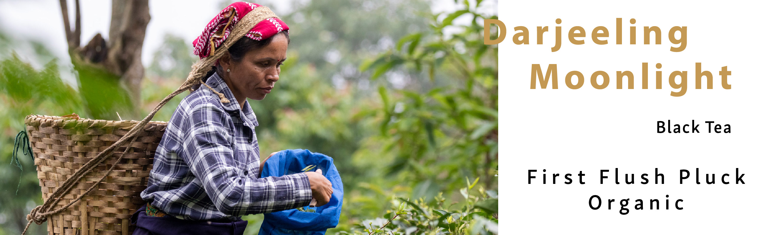 Darjeeling Tea Plucking