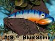 Blue Shiner - #18