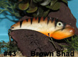 Brown Shad - #43