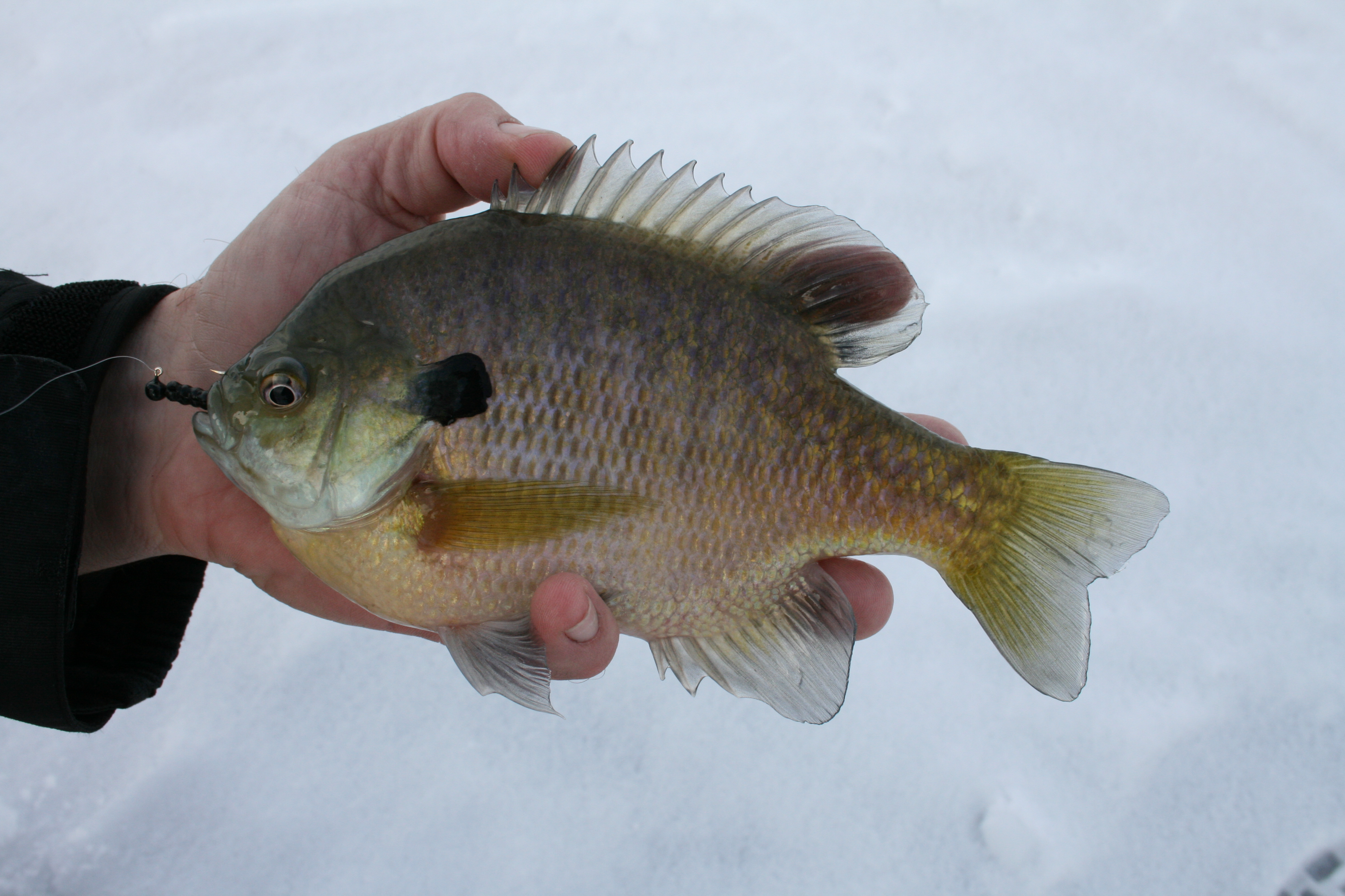 a bluegill caught with a black ratso