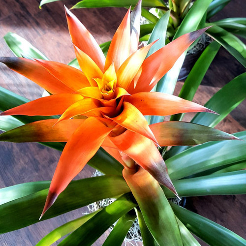 Blooming Bromeliad Plant Valentine's Day Midwood Flower Shop | Charlotte Florist Delivery Service