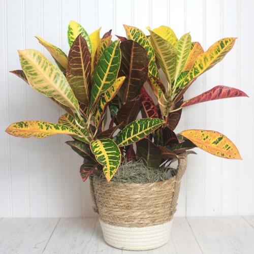 Croton Plant Fall Flowers Midwood Flower Shop | Charlotte Florist Delivery Service