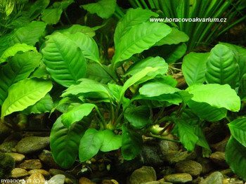 Anubias Barteri Coffeefolia Potted SD-2 {plants are shipped Mon-Wed} - Next Or 2nd Day