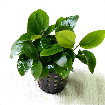 Anubias Barteri Varient Nana Med SD-2 {plants are shipped Mon-Wed} - Next Or 2nd Day