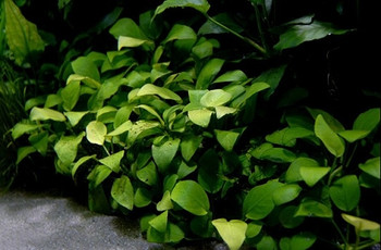 Anubias Nana Potted Mother Plant SD-2 {plants are shipped Mon-Wed} - Next Or 2nd Day