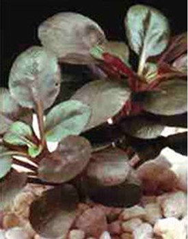 Lobelia Cardinalis Cardinal Plant Potted SD-2 {plants are shipped Mon-Wed} - Next Or 2nd Day
