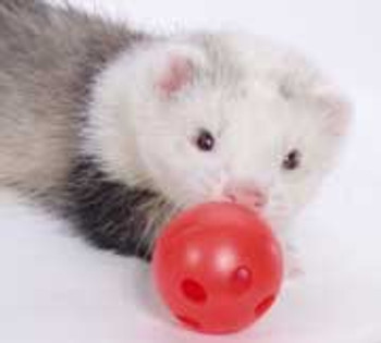 Marshall Pet Ferret Ball W/bell 2 Pk