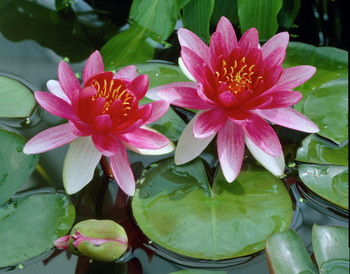 Nymphaea Attraction SD-2 {plants are shipped Mon-Wed} - Next Or 2nd Day-84353
