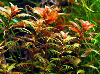 Proserpinaca Palustris 5 To 10 Stems Per Bunch Price SD-2 {plants are shipped Mon-Wed} - Next Or 2nd Day