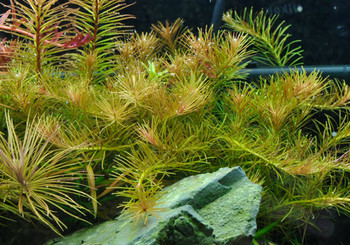 Rotala Nanjenshan 5 To 10 Stems Per Bunch Price SD-2 {plants are shipped Mon-Wed} - Next Or 2nd Day
