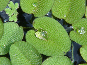 Salvinia Natans SD-2 {plants are shipped Mon-Wed} - Next Or 2nd Day-84360