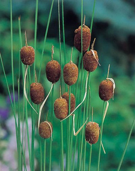 Typha Minima SD-2 {plants are shipped Mon-Wed} - Next Or 2nd Day-84352