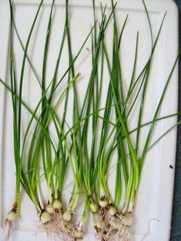 Zephyranthes Candida Dwarf Onion 6 Lot Price SD-2 {plants are shipped Mon-Wed} - Next Or 2nd Day