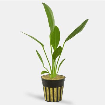 Live Aquarium Plants | Echinodorus Osiris Melon Sword Potted Save 10% 2+ SD-2 {ship Mon-wed }