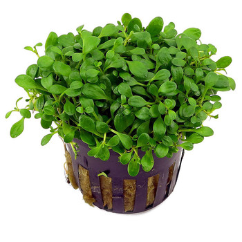 Glossostigma Elatinoides Glossostigma Potted SD-2 {plants are shipped Mon-Wed} - Next Or 2nd Day