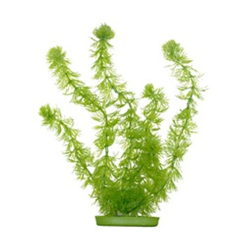 Aquascaper Hornwort Xl 15 Inch {requires 3-7 Days before shipping out}