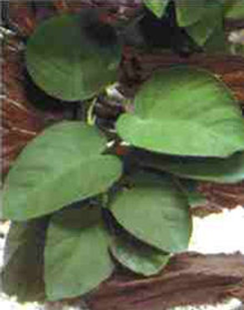 Anubias Barteri Broadleaf- Med SD-2 {plants are shipped Mon-Wed} - Next Or 2nd Day
