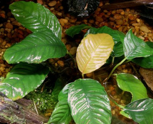 Anubias Coffeefolia- Med SD-2 {plants are shipped Mon-Wed} - Next Or 2nd Day
