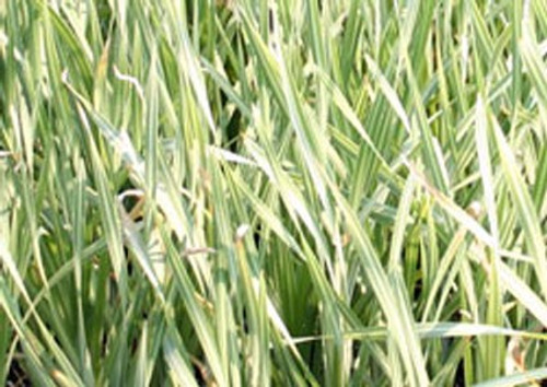 Typha Latifolia Variegata SD-2 {plants are shipped Mon-Wed} - Next Or 2nd Day-84349