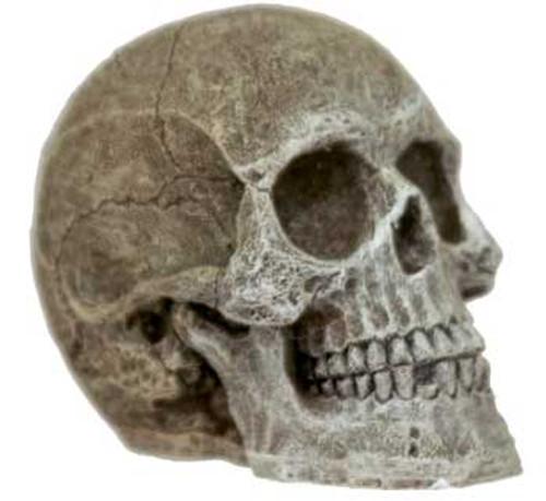 Blue Ribbon Mini Human Skull-88014