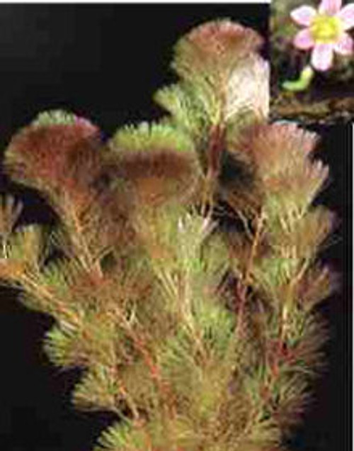 Cabomba Furcata Red Cabomba 5 To 10 Stems Per Bunch SD-2 {plants are shipped Mon-Wed} - Next Or 2nd Day