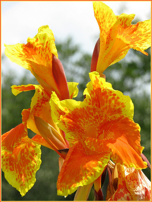 Canna Tany Orange SD-2 {plants are shipped Mon-Wed} - Next Or 2nd Day-84363