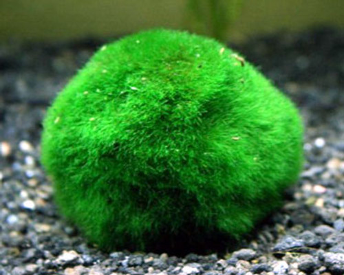 Chladophora Aegagropila Moss Ball- Lg SD-2 {plants are shipped Mon-Wed} - Next Or 2nd Day