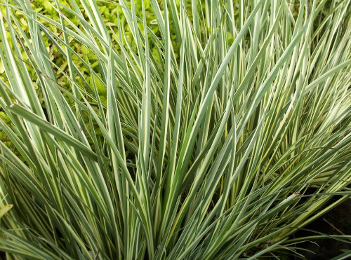 Acorus Variegatus Green And White Fan SD-2 {plants are shipped Mon-Wed} - Next Or 2nd Day