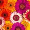 Multi-coloured Gerbera flowers Poster Print by  Assaf Frank - Item # VARPDXAF20120904082C02