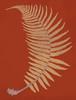 Male Fern Poster Print by  Francis George Heath - Item # VARPDXFGH02