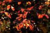 Autumn Leaves VI Poster Print by Alan Hausenflock - Item # VARPDXPSHSF558