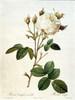 Rosa, Centifolia Mutabilis Poster Print by  Pierre-Joseph Redout - Item # VARPDXPJR03