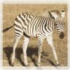 Young Africa Zebra Poster Print by Susann Parker - Item # VARPDXPSPKR112