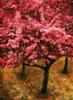 Pink Cherry Tree Poster Print by Vitaly Geyman - Item # VARPDXPSVIT152