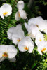 Orchids and Ferns II Poster Print by Alan Hausenflock - Item # VARPDXPSHSF677