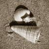 Seashells VII Poster Print by Alan Hausenflock - Item # VARPDXPSHSF1121