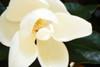 Southern Magnolia I Poster Print by Alan Hausenflock - Item # VARPDXPSHSF1230