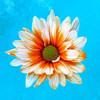 Peach Daisy Poster Print by Gail Peck - Item # VARPDX9000C