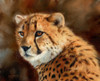 Cheetah Alone Poster Print by David Stribbling - Item # VARMGL601663