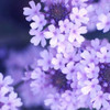 Purple Flowers Poster Print by PhotoINC Studio - Item # VARPDXIN30885