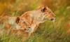 Lionesses Forest Poster Print by David Stribbling - Item # VARMGL601648