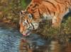 Lonely Cheetah Poster Print by David Stribbling - Item # VARMGL601383