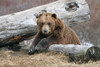 An Adult Brown Bear Rests On A Log At The Alaska Wildlife Conservation Center Near Portage, Southcentral Alaska, Spring, Captive PosterPrint - Item # VARDPI2094115