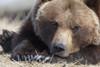 Close Up Portait Of A Sleepy Adult Brown Bear At The Alaska Wildlife Conservation Center Near Portage, Southcentral Alaska, Spring, Captive PosterPrint - Item # VARDPI2094118