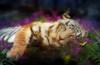 Tiger Dreams Poster Print by Aimee Stewart - Item # VARMGL17444