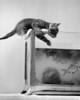 1940s Tabby Cat Kitten Climbing Into Goldfish Tank Aquarium Poster Print By Vintage Collection - Item # VARPPI177704