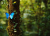 Blue Morpho Butterfly  Costa Rica Poster Print by Panoramic Images (17 x 12) - Item # PPI101785