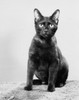 Black cat sitting Poster Print - Item # VARSAL25530138